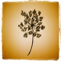 #94 Queen Anne's Lace