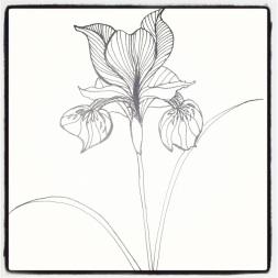 #115 Iris