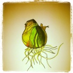 Amaryllis Bulb - Watercolors with Pen #12