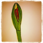 Amaryllis - Breaking Through - Watercolors with Pen #15
