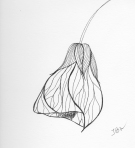 Chinese Lantern – Pen and Ink #69