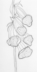 Foxgloves – Pen and Ink #79