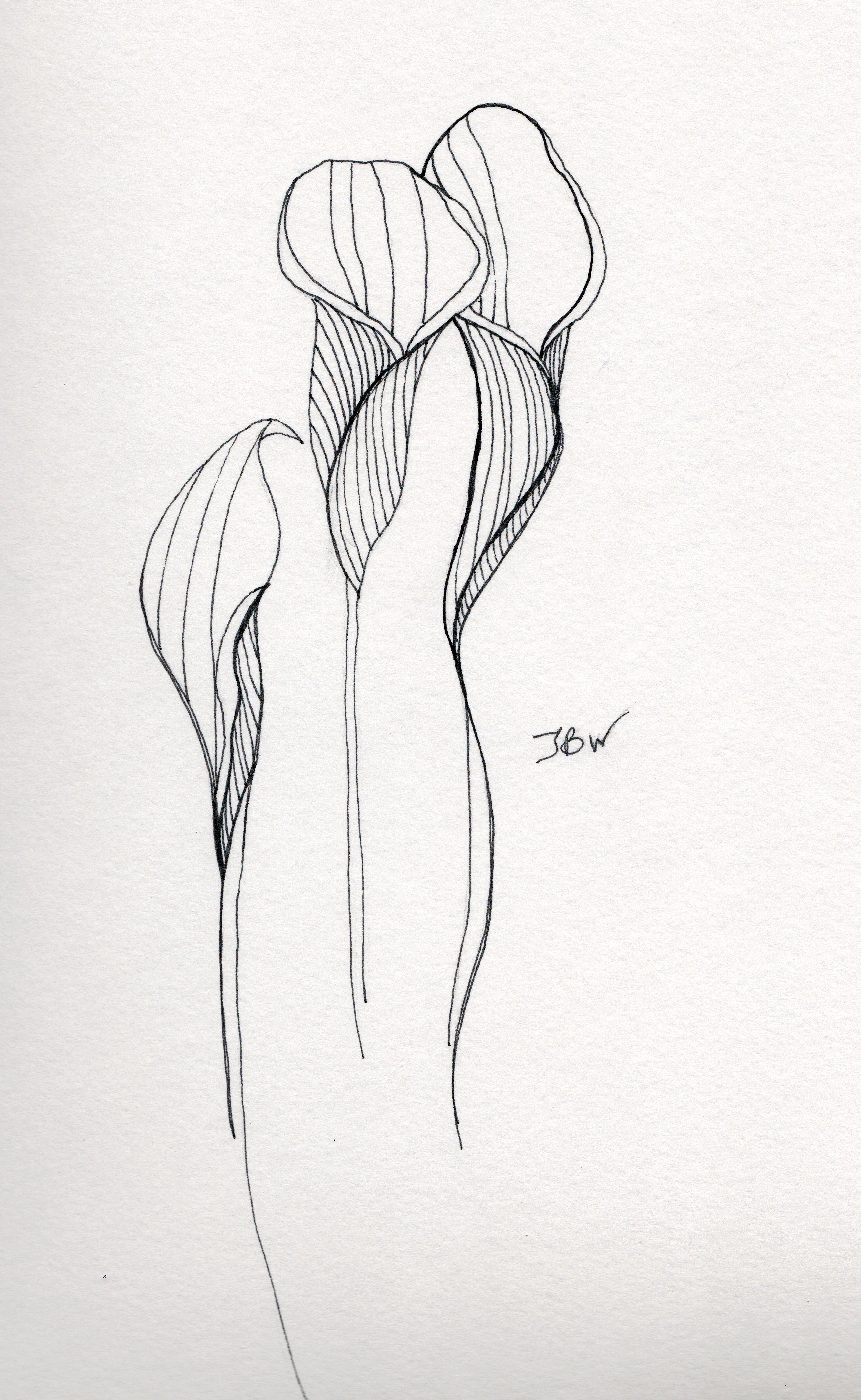 Calla Lilies Pen And Ink 98 125 Images Project
