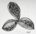 Peony Seed Pods – Pen and Ink #85