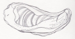 Seashell (Underside) – Pen and Ink #91