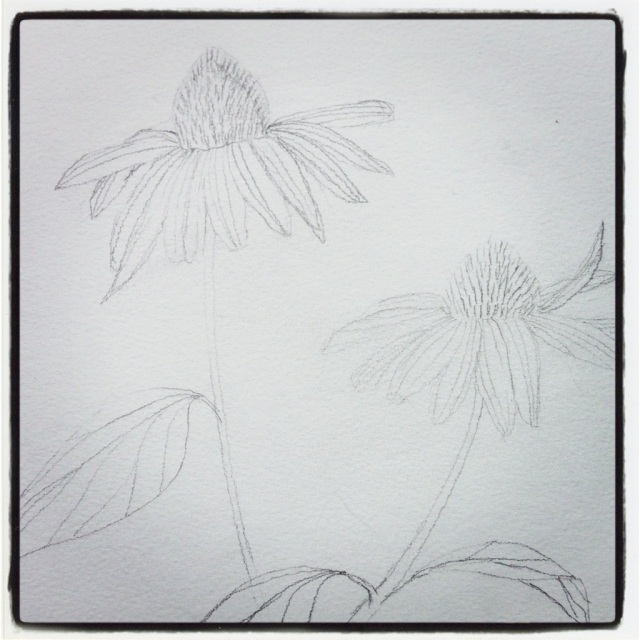 Echinacea Blossoms – Sketch #44 (Series 3)